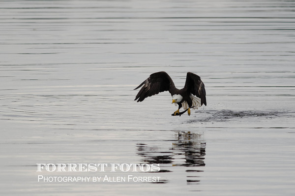 Osprey catches a fish at the Rodman Dam, near Palatka, Florida.