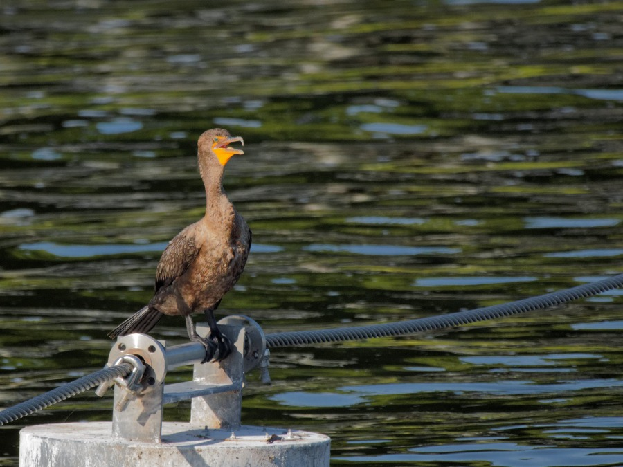 Cormorant and Catfish at Rodman Dam, Putnam County, Florida